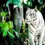 Der weiße Tiger